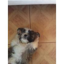 Vende-se Cães Da Raça York E Shitzu