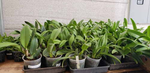 Kit Mudas De Orquídea Cattleya - 10 Mudas Adultas Mix Cores