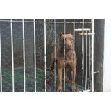 American Pit Bull Terrier Filhotes Linhagem Americana