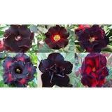 Adenium Rosa Do Deserto 6 Roxas 6 Amarelas 6 Pretas Sementes