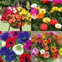 1800 Sementes Flor Onze Horas Dobrada Sortida Para Mudas