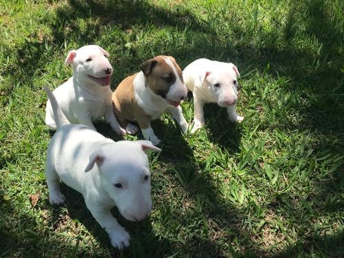 Filhotes De Bull Terrier Ingles !!!!