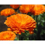 30 Sementes Da Flor Calêndula Medicinal Nova Frete Grátis