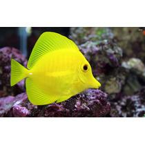Yellow Tang Zebrasoma Flavescens 5 À 8cm (peixe Marinho)