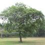 Sementes De Mutambo Árvores Nativas Mutamba Frete Grátis