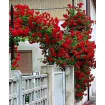 Sementes Flor Rosa Trepadeira Vermelha P/ Mudas Importadas
