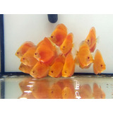 Acara Disco Red Diamond Importado 7 Cm