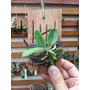 Cattleya Aclandiae Albencis Original