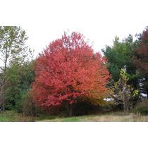 Sementes De Acer Rubrum Para Mudas Árvore Ou Bonsai