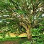 Mudas De Tataré - Belíssima Árvore Ornamental