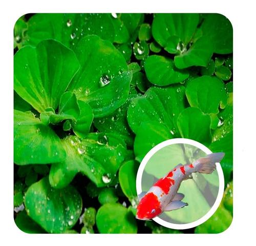 Kit 30 Plantas Filtro Verde P/ Fonte Lago Alface Dágua Carpa