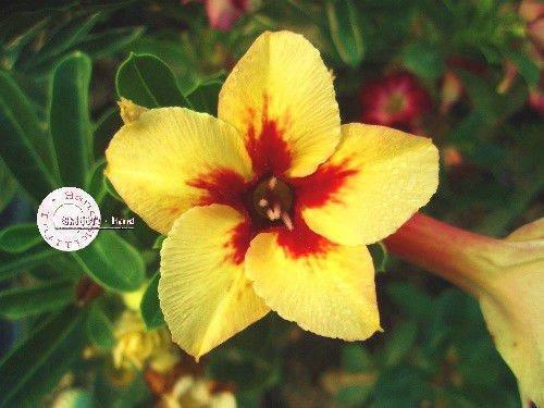 15 Sementes De Rosa Deserto Amarelo Com Vermelha Aps062