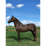 Cavalo Mangalarga Marchador Doblo Rainha Da Paz