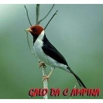 150 Cantos De Pássaros Cacatuasabiá Canáriocurió Juriti