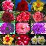 Rosa Do Deserto! 20 Mudas Que Florescem 6 Meses! Parcele 12x
