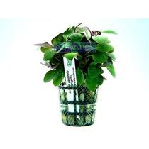 Planta L7 Lobelia Cardinalis (variegata) - Aquapet
