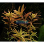 Planta R4 Rotala Rotundifolia - Aquapet
