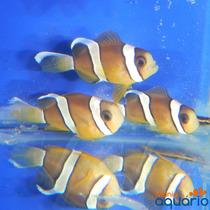 Peixe Palhaço Clarkii - (criado)