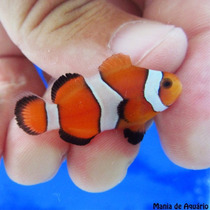 Palhaço Ocellaris - Amphiprion Ocellaris (criado) Nemo