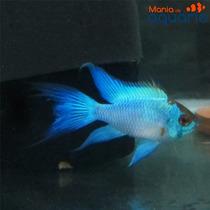 Peixe Ramirezi Eletric Blue (criado)