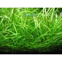 Planta E23 Echinodorus Tenellus (blood) - Aquapet