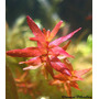 Plantas Aquáticas Rotala Mini Red (rotala Sp Butterfly )
