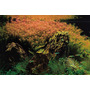 Rotala Rotundifolia (maço Com 10 Ramos)