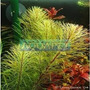 Planta R8 Rotala Sp. (vietnan) - Aquapet