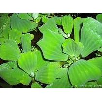 Plantas Aquáticas Alface-d¿água ¿ Pistia Stratiotes
