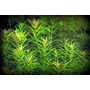 Planta Para Aquario Rotala Sp Nanjenshan