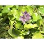 Plantas Mudas,aquáticas, Aguapés, Salvinias, Alface D