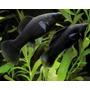 Peixe Molinesia Negra (2 Casais)