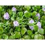 Plantas Aquáticas Flutuantes - Aguapé (5 Mudas)