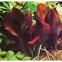 Plantas Aquáticas - Echinodorus Kleiner Bar 1 Muda