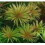 Ludwigia Inclinata Aquatic Frete Fixo R$8,00 Brindes Plantas