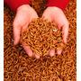 Tenébrios Molitor 400 Larvas - Imperdivel - Alimento Vivo