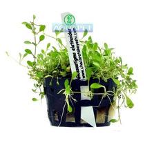 Planta G2 Glossostigma Elatinoides - Aquapet