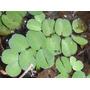 Salvínia Auriculata Planta Flutuante Aquárioslagos 300 Mudas
