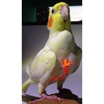 Colete Guia Coleira Peitoral Roupinha Calopsita, Papagaio