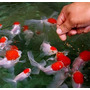 Dvd Criação De Peixes Ornamentais - Envio Grátis!!!