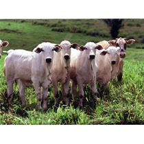 Raltex Cria Nucleo Melhor Taxa De Fertilidade Em Vacas