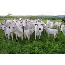 Nucleo Para E De Vacas Cria Melhora O Índice Reprodutivos