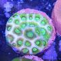 Corais Marinhos Vivos - Diversas Espécies