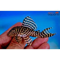 Cascudo Zebra - (l 333)