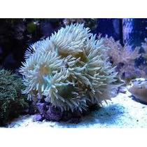 Corais Para Aquario Marinho - Duncan