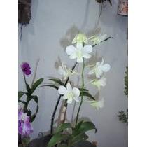 Orquidea Denfhal Branca