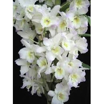 Muda Orquidea Denfal Branca