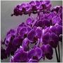 Mudas Adultas De Phalaenopsis Roxa