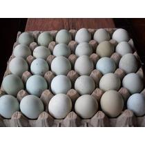 Ovos Galados Azuis De Indio Gigante