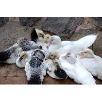 Patos Com 2 Meses